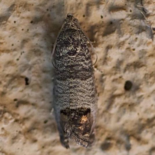 Micro Moth - Brown w/ orange - Cydia pomonella