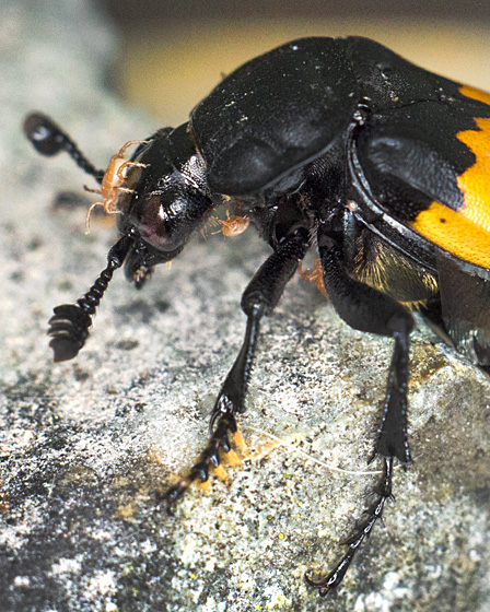 Sexton Beetle with mites - Nicrophorus vespilloides