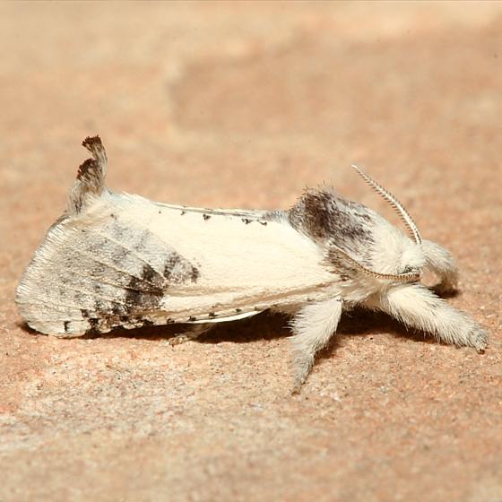 Moth - Givira theodori