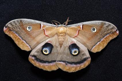 large moth - Antheraea polyphemus - female