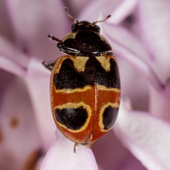 Hieroglyphic Lady Beetle - Coccinella hieroglyphica