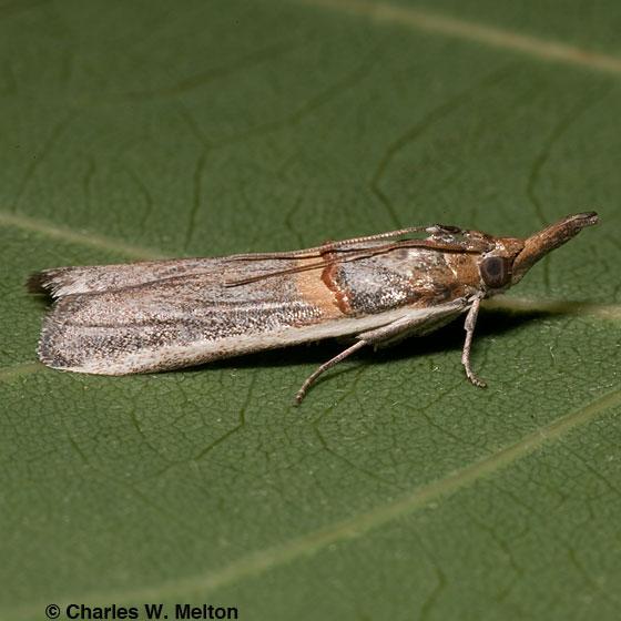 Moth - Etiella zinckenella