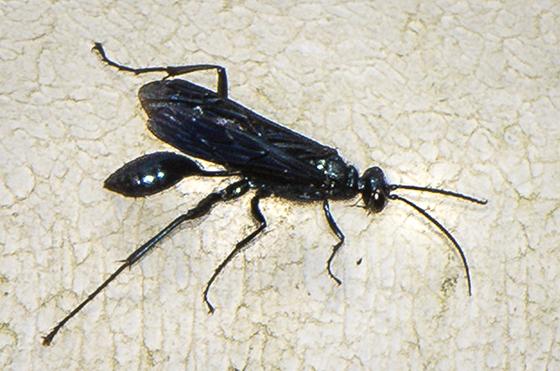Sphecidae ID request - Chalybion californicum