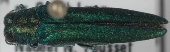 Agrilus planipennis - male