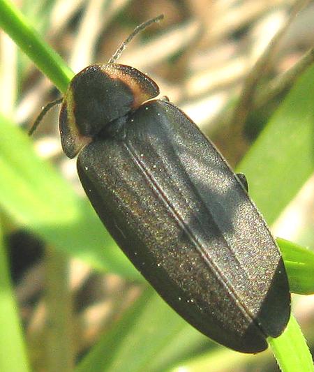 Diurnal Firefly - Ellychnia corrusca