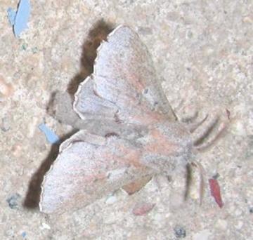 Moth #07-41 - Phyllodesma americana