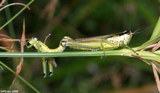 Olive-green Swamp Grasshopper - Paroxya clavuliger - male - female
