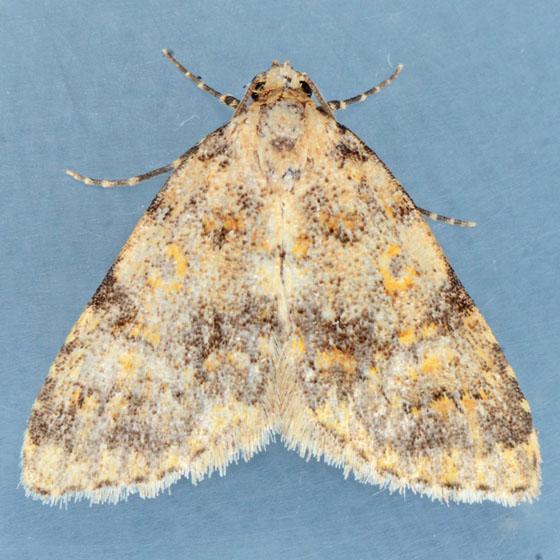 Moth for ID - Cryphia nana