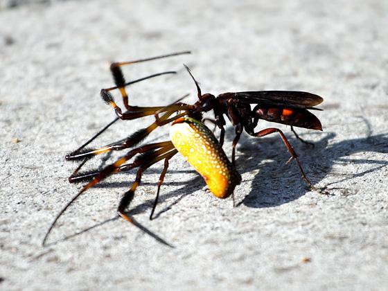 Spider Wasp & Golden Silk Orbweaver - Poecilopompilus algidus - female
