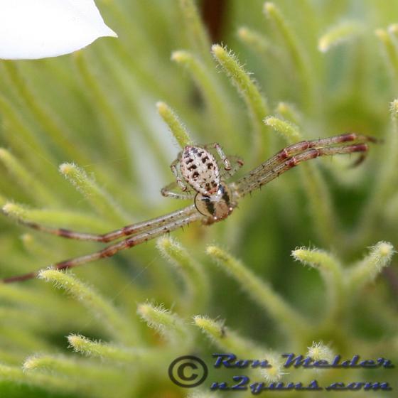 Spider unknown 01 - Mecaphesa celer