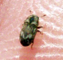 Eastern Ash Bark Beetle - Hylesinus aculeatus