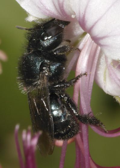 Dark bee/wasp? - Osmia
