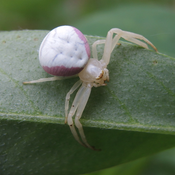 Pink-striped Spider - Misumena vatia