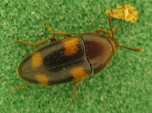 Orange-spotted melandryid - Holostrophus bifasciatus