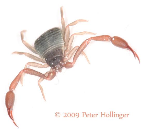 Pseudoscorpion? Cheliferidae??