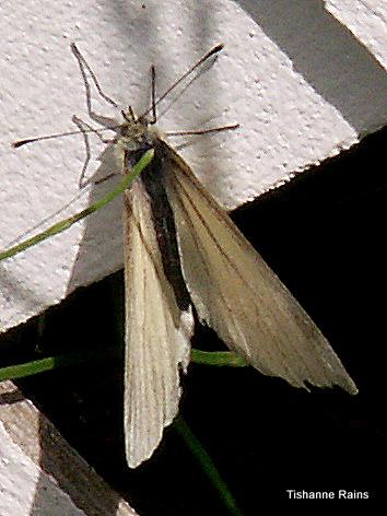 Butterfly - Pieris marginalis