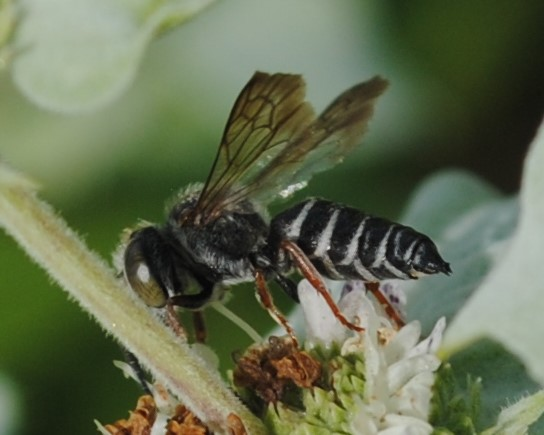 Megachile sp. or Ceolioxys sp.? - Coelioxys octodentatus