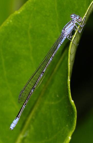 Damselfly ID - Enallagma pallidum