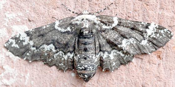 Brown Moth - Phaeoura quernaria - female