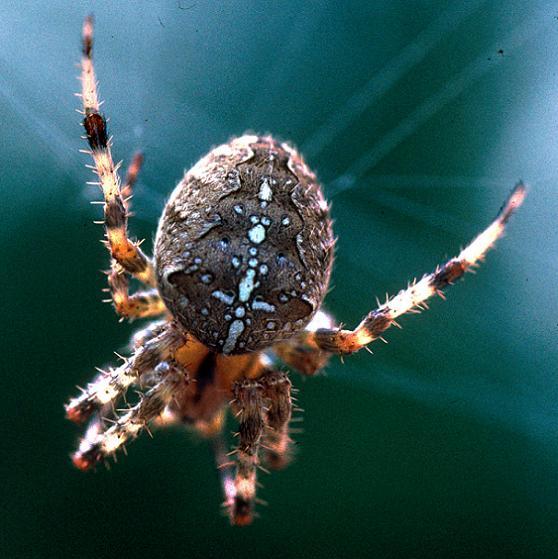 Shamrock Spider - Araneus diadematus - female