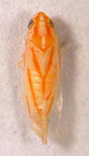 Leafhopper - Erythridula