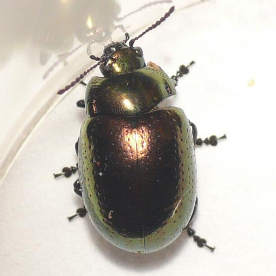 Leaf beetle 10.05.29 (2) - Chrysolina