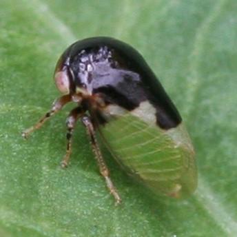 Treehopper - Micrutalis parva