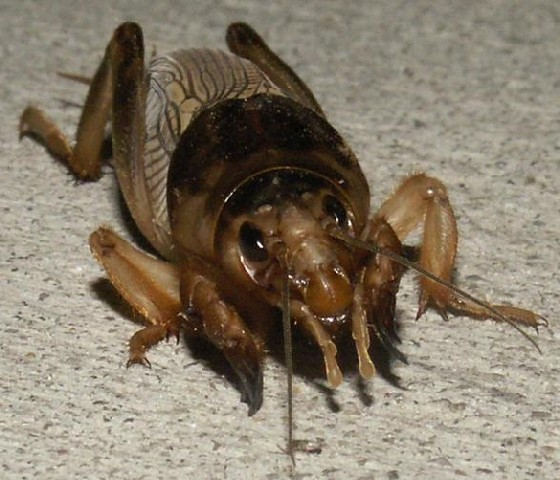 Tawny Mole Cricket - Neoscapteriscus vicinus - female