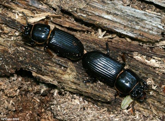 Horned Passalus Mating - Odontotaenius disjunctus - male - female