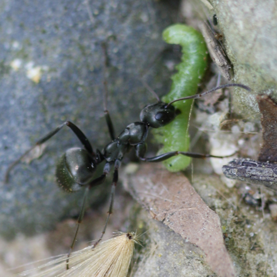 Ant with green caterpillar (prey) - Formica subsericea