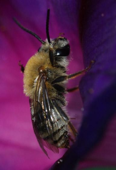 Bee on morning glory - Peponapis pruinosa - male
