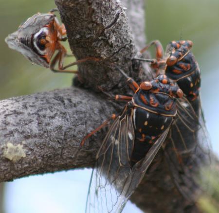 Periodic cicada in Western New Mexico? - Hadoa duryi