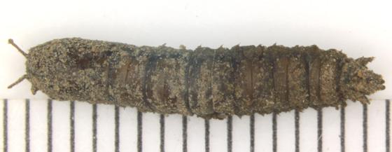 Tipulomorpha, pupa - Nephrotoma ferruginea