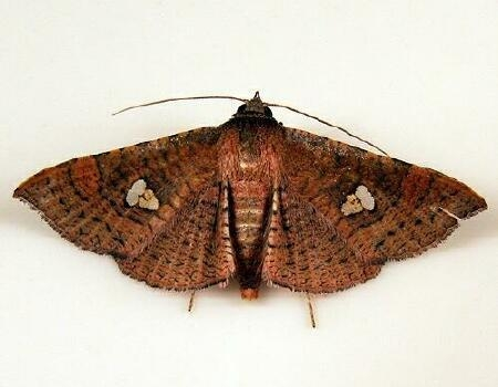 Sapodilla Borer Moth - Hodges #6086 - Banisia myrsusalis