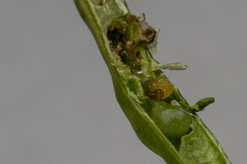 Cabbage Seedpod Weevil (obstrictus) - Ceutorhynchus obstrictus
