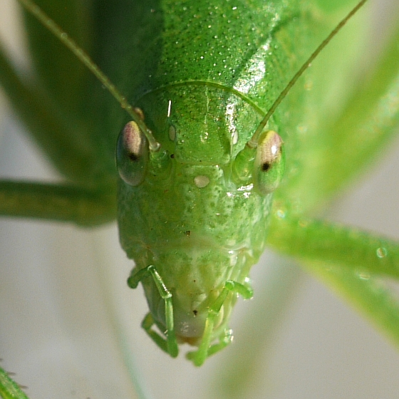 Katydid - Amblycorypha rotundifolia - female