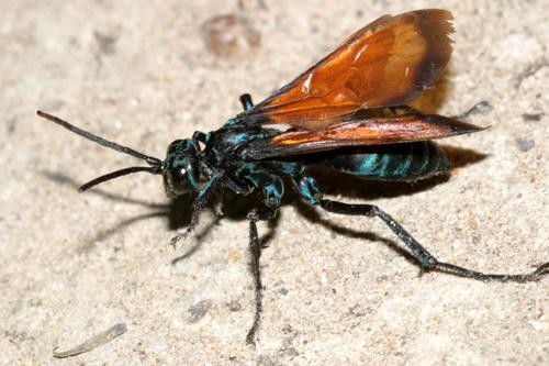 tarantula hawk - Pepsis - female