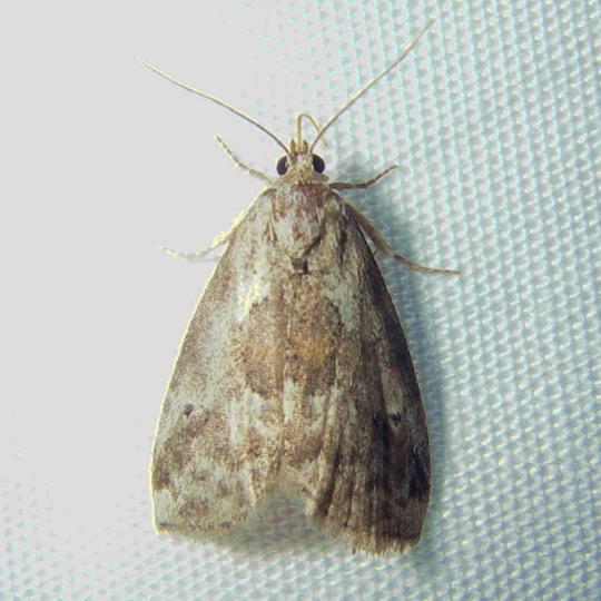 moth 7-25 - Hyperstrotia secta
