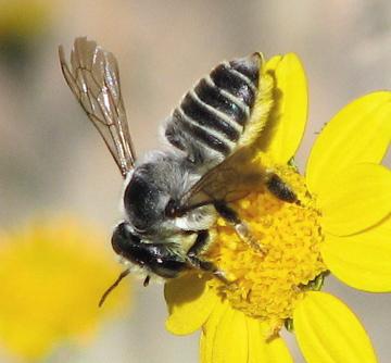 Megachile parallela - female