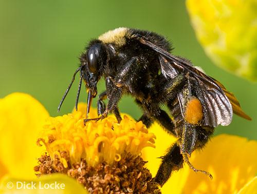 Texas Bee - Bombus pensylvanicus