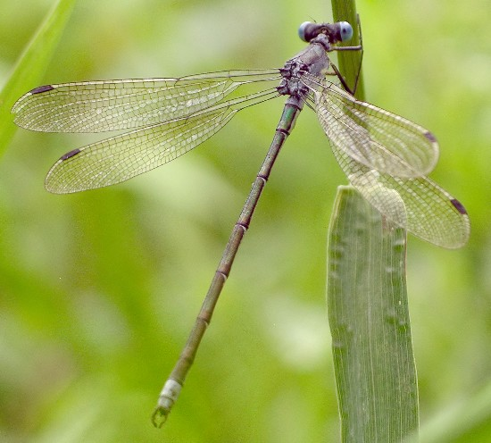 spreadwing - Lestes - male