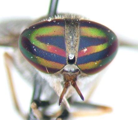 Tabanid 2 - Tabanus - female