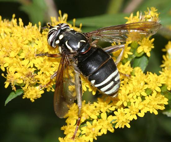 Bald-faced Hornet Mimic - Spilomyia fusca - female