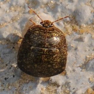 Small Bug  - Megacopta cribraria