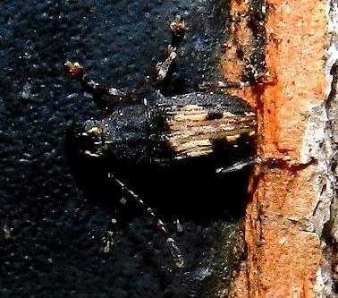 Unknown beetle - Piesocorynus plagifer