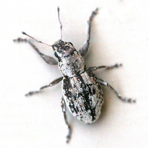 Weevil - Atrichonotus taeniatulus - female