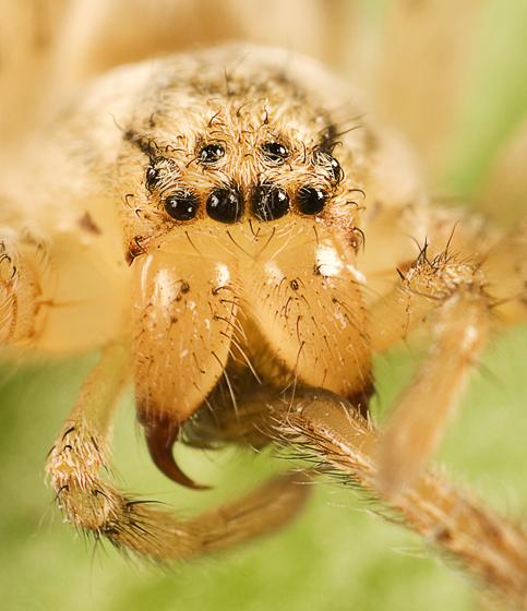 unknown spider - Curicaberis