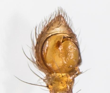 Crab Spider - Tmarus minutus - male