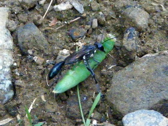 Is this Eremnophila aureonotata? - Eremnophila aureonotata