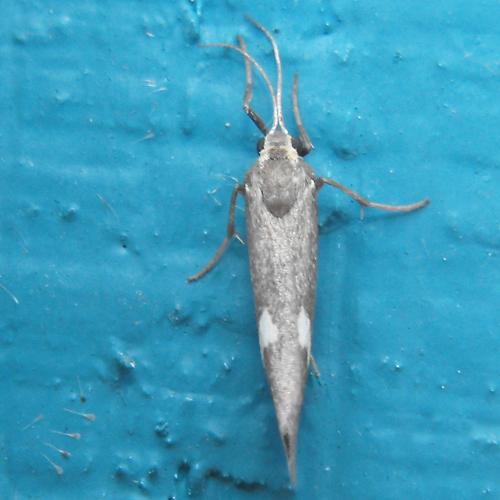 lichen moth - Cisthene liberomacula